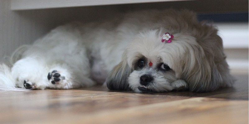 Ши-тцу опис породи та догляд за собакою