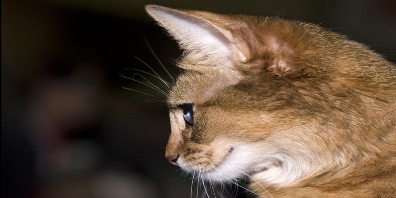 Сомалі (Сомалійська кішка) Опис породи