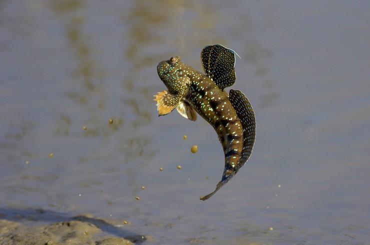 Мулистий стрибун – найдивніша акваріумна рибка
