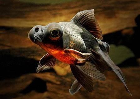 Золота рибка телескоп. Особливості утримання
