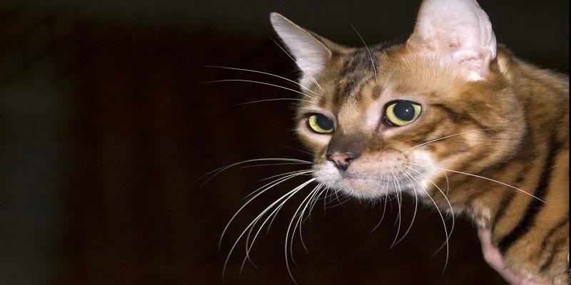 Порода кішок Тойгер - догляд та годівля