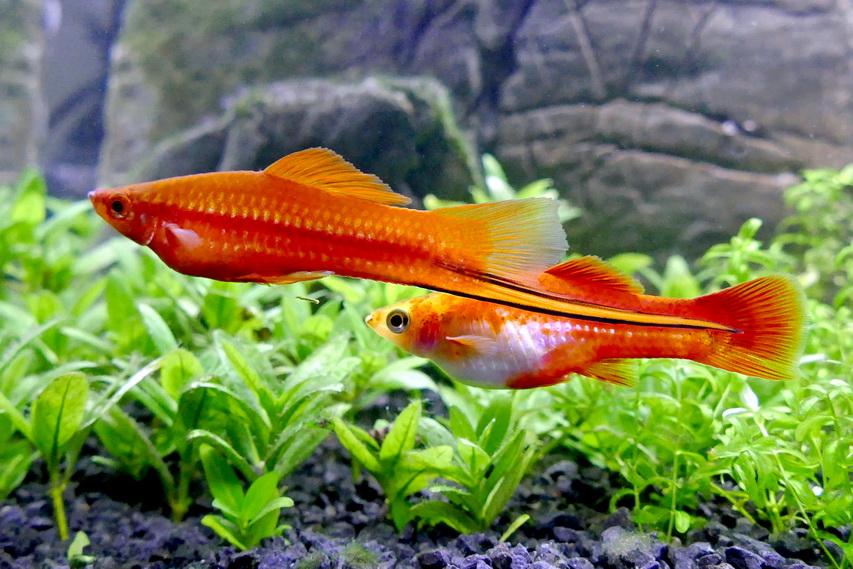 xiphophorus.jpg (231.44 Kb)